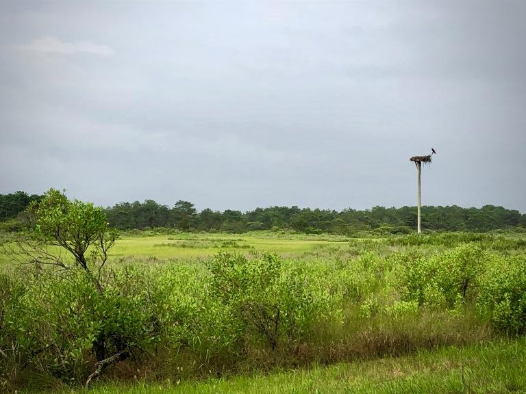 Osprey (Pandion haliaetus) nest a Napeague, NY, Patricia Paladines