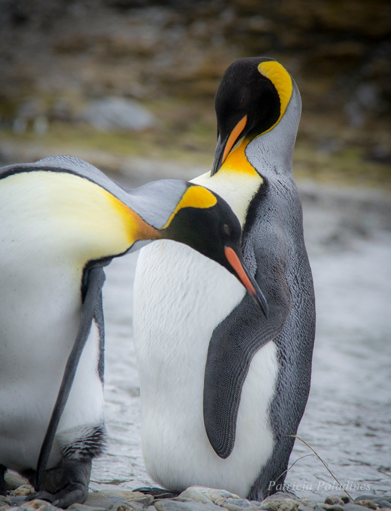 King Penguin (Aptenodytes patagonicus), South Georgia